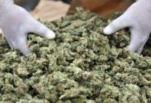 sequestrata piantagione di cannabis